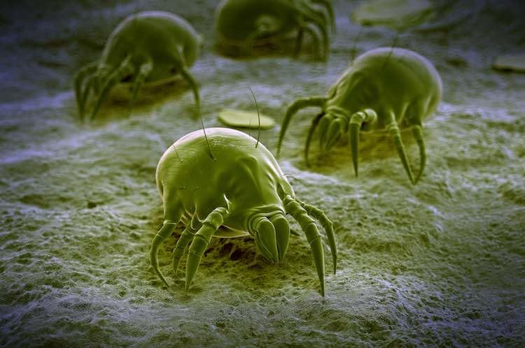 Asthma and dust mites - myDr com au