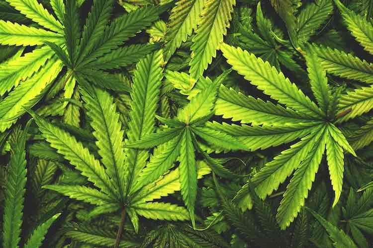 Cannabis: what is it? - MyDr.com.au