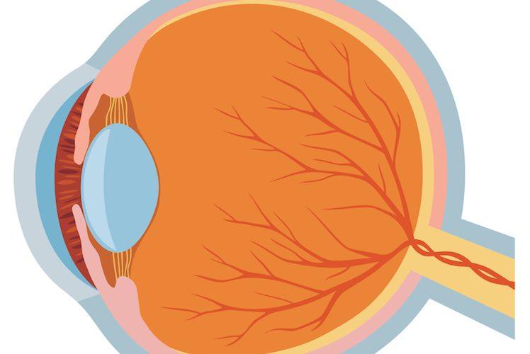 Eye anatomy - myDr com au