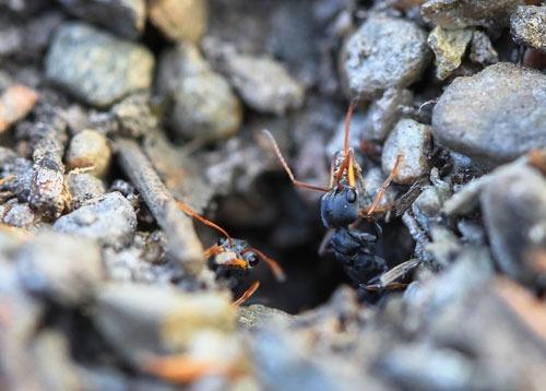 jack jumper ants
