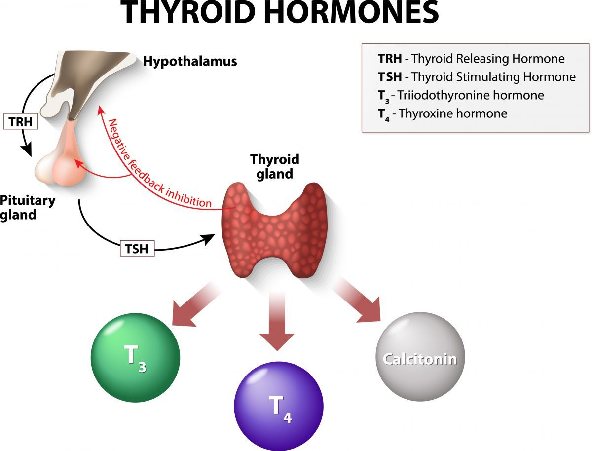 thyroid hormones feedback to the hypothalamus and pituitary gland